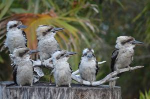 Kookaburras copy